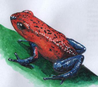 grenouille dendrobate à l'aquarelle
